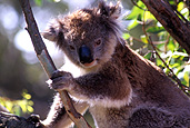Australia, gum tree, gum trees, eucalyptus, eucalyptus tree, eucalyptus trees, Animal, Animals, Mammal, Mammals, Marsupial, Marsupials, Australian animal, Australian animals, Koala, Koalas, PHASCOLARCTOS CINEREUS, phascolarctos, tree, trees.