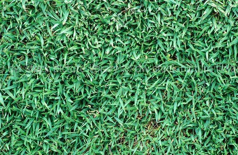 QUEENSLAND BLUE COUCH GRASS (DIGITARIA DIDACTYLA)