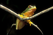 Animal, animals, frog, frogs, tree frog, tree frogs, green tree frog, green tree frogs, amphibian, amphibians, amphibious.