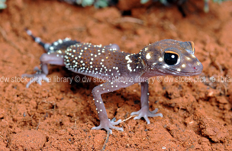 a royalty free image of the thicktailed or barking gecko