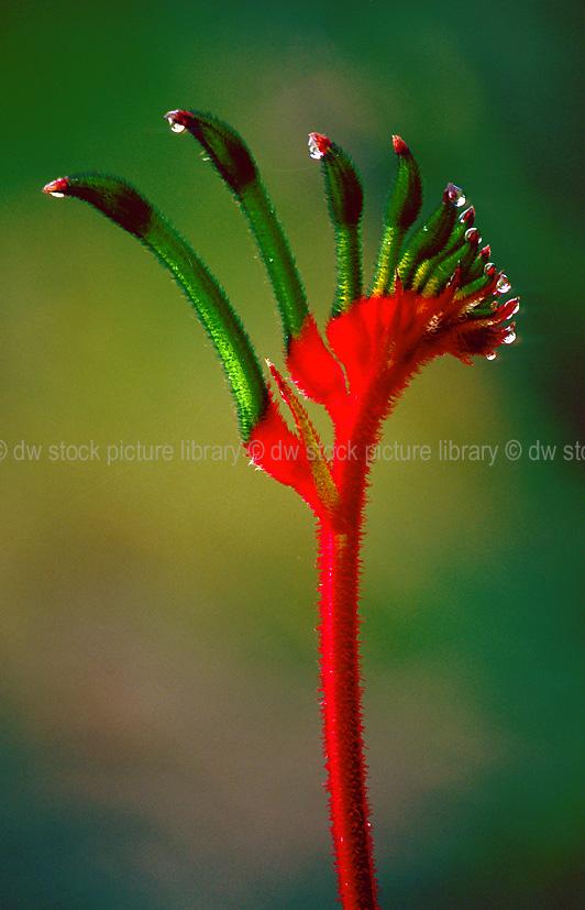green kangaroo paw  anigozanthos manglesii  floral emblem of western australia