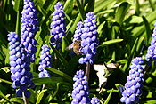 Flower, flowers, hyacinth, hyacinths, grape, grape hyacinth, honey, grape hyacinths, muscari, armeniacum, muscari armeniacum, blue, blue flower, blue flowers, blue spike, insect, insects, bee, bees.