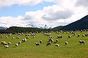 New Zealand, Farming, Farmland, farm, farms, animal, animals, sheep, meat industry, meat trade, lamb, lambs, livestocl, farm land, farming land, agriculture, rural, rural scene, rural scenes.
