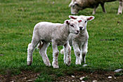 New Zealand, Farming, Farmland, farm, farms, animal, animals, sheep, meat industry, meat trade, lamb, lambs, livestock, young animal, young animals, baby animal, farm land, farming land, agriculture, baby animals, rural, rural scene, rural scenes.