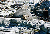 Marinelife, Marine life, Aquatic, Aquatic life, Sea life, Sealife, Animal, Animals, Seal, seals, sea lion, sea lions, sleep, sleeps, sleeping, asleep, fur, fur seal, fur seals, New Zealand fur seal, New Zealand fur seals, arctocephalus, forsteri, arctocephalus forsteri, rock, rocks, coast, coasts, coastline, coastlines, fur-seal, fur-seals, new zealand fur-seal, new zealand fur-seals, mammal, mammals, placental mammal, placental mammals, placental, otariidae, new zealand, nz, pacific islands.