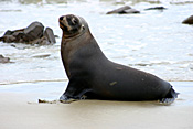Marinelife, Marine life, Aquatic, Aquatic life, Sea life, Sealife, Animal, Animals, Seal, seals, fur, fur seal, fur seals, New Zealand fur seal, seashore, seashores, shoreline, shorelines, New Zealand fur seals, arctocephalus, forsteri, arctocephalus forsteri, fur-seal, fur-seals, new zealand fur-seal, new zealand fur-seals, mammal, mammals, placental mammal, placental mammals, placental, otariidae, new zealand, nz, pacific islands, beach, beaches.