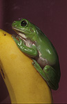Frogs, amphibians, amphibia, tree frogs, green tree frogs, litoria, litoria caerulea, Australia, banana, bananas.