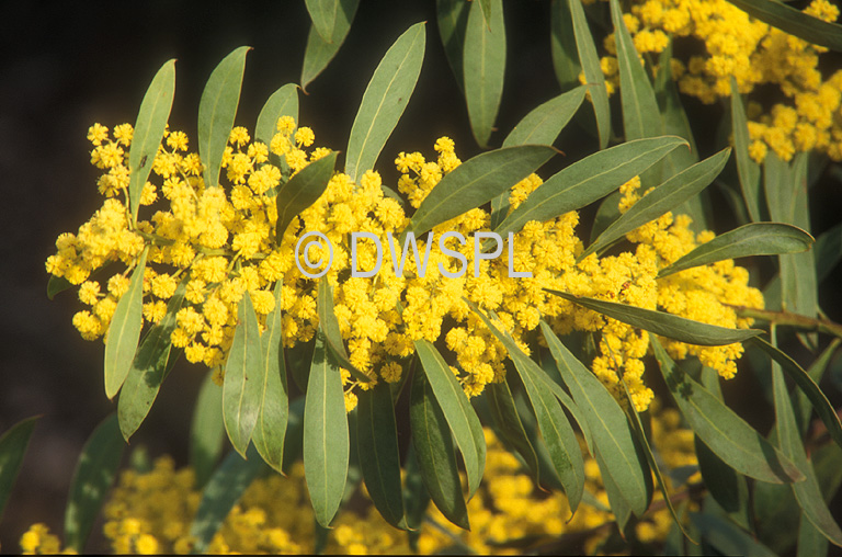 Tree Trees Acacia Acacias Wattle Wattles Acacia Rubida Rubida