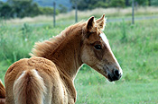 Animal, animals, horse, horses, australia, brown, brown horse, brown horse, young animal, young animals, baby animal, baby animals, foal, foals, yearling, yearlings, colt, colts.