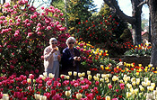 Australia, people, woman, women, aged, old, elderly, old woman, old women, elderly woman, elderly women, aged people, old people, elderly people, outdoors, bowral, nsw, new South Wales, tulip, tulips, tulipa.