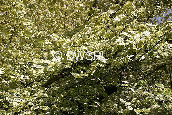 stock photo image: Tree, trees, elm, elm tree, elm trees, variegated, variegated elm, variegated elms, variegated elm tree, variegated elm trees, ulmus, kimmie, ulmus kimmie.
