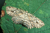 Insect, Insects, lepidoptera, Arthropod, Arthropods, insecta, moth, moths, bark, bark moth, bark moths, Ectropsis.