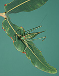 Insect, insects, katydid, katydids, orthoptera, tettigoniidae, long-horned, long-horned grasshopper, long-horned grasshoppers.