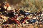A ROYALTY FREE IMAGE OF: LITTLE CROWS (CORBUS BENNETTI) FEEDING OFF ANIMAL REMAINS, GREAT VICTORIA DESERT, WESTERN AUSTRALIA
