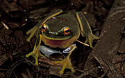 Animal, animals, frog, frogs, amphibian, amphibians, amphibia, Australia, australian, tree, tree frog, tree frogs, graceful, graceful tree frog, graceful tree frogs, litoria, gracilenta, litoria gracilenta.