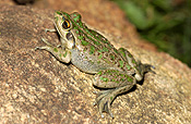 Animal, animals, frog, frogs, tree frog, tree frogs, amphibian, amphibians, amphibious, bell, bell frog, bell frogs, western bell frog, western bell frogs, western green tree frog, western green tree frogs, bullfrog, bullfrogs, australian bullfrog, australian bullfrogs, western tree frog, western tree frogs, motorbike, motorbike frog, motorbike frogs, litoria, moorei, litoria moorei.