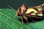 Insect, Insects, lepidoptera, moth, moths, green-blotched, green-blotched moth, green-blotched moths, cosmodes, elegans, NOCTUIDAE.