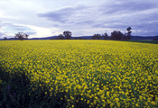 Agriculture, Australia, Qld, Queensland, Canola, Canola crop, canola crops, canola field, canola fields, field, fields, crop, crops, oilseed, oilseed crop, oilseed crops, Brassica, brassica napus, oil, oils, tree, trees, cloud, clouds.