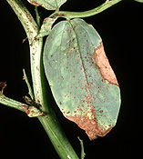 Disease, diseases, plant disease, Plant diseases, chocolate spot, necrotic, necrotic chocolate spot, botryts, fabae, botryts fabae, lesion, lesions, bean, beans, vegetable, vegetables,