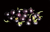 Fruit, huckleberry, huckleberries, garden huckleberry, garden huckleberries, solanum, burbankii, solanum burbankii, solanaceae, wonderberry, wonderberries, sunberry, sunberries, food.