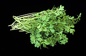 Food, Herb, Herbs, cress, perfection curly, perfection curly cress, Lepidium, Lepidium sativum.