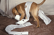 Animal, animals, dog, dogs, domestic, domestic dog, domestic dogs, pet, pets, puppy, puppies, labrador, labradors, paper, chew, chews, chewing, toilet paper, toilet roll, toilet rolles, Australia, Sport pictures, Sports, balloon images, hot air balloons