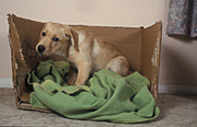 Animal, animals, dog, dogs, domestic, domestic dog, domestic dogs, pet, pets, puppy, puppies, labrador, labradors, bed, beds, cardboard, box, boxes, Australia, Sport pictures, Sports, balloon images, hot air balloons