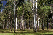 Australia, qld, queensland, tree, trees, forest, forests, eucalyptus, eucalyptus tree, eucalyptus trees, gum tree, gum trees, JP56