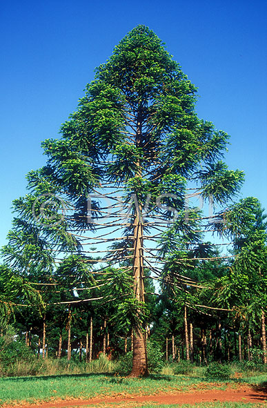 Hardwood And Softwood Trees ~ Bunya pine tree auracaria bidwillii