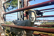 Animal, animals, sheep, meat industry, meat trade, livestock, agriculture, qld, queensland, australia, fence, fences, darling downs, great dividing range, pen, pens.