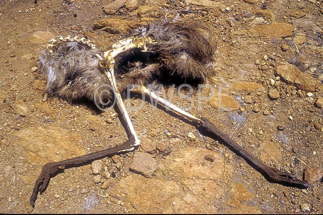 australia australian animal animals bird birds dead emu dead