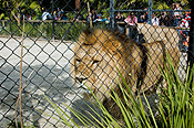 Animal, animals, wildlife, African, africa, african wildlife, african animal, african animals, wildlife, Cat, Cats, Big Cat, Big Cats, Lion, Lions, Pantheris, Leo, Leo Pantheris, australia, sa, south australia, adelaide, adelaide zoo, zoo, zoos, cage, cages, caged, caged animal, caged animals.