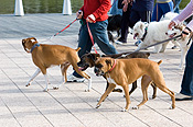 Australia, sa, RSPCA, south australia, adelaide, elder park, torrens, torrens river, river torrens, charity, charities, boxer, boxers, boxer dog, boxer dogs, dog, dogs, domestic, domestic dog, domestic dogs, million paws, million paws walk, footpath, footpaths, path, paths, pathway, pathways.
