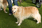 Australia, sa, RSPCA, south australia, adelaide, elder park, torrens, torrens river, river torrens, charity, charities, retriever, retrievers, golden retriever, golden retrievers, dog, dogs, domestic, domestic dog, domestic dogs, million paws, million paws walk.