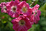 New images, flower, flowers, rosa, rose, roses, america pillar, pink, pink flower, pink flowers.