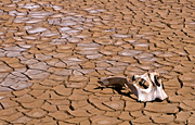 Climate, weather, drought, drought scenes, drought scenes, disasters, natural disasters, mud, cracked mud, dried mud, skull, dead animals