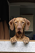 Animal, animals, dog, dogs, vizla, vizla dog, vizla dogs, hungarian, pet, pets, domestic, domestic dog, domestic dogs, door, doors, kitchen, kitchens, Australia, Sport pictures, Sports, balloon images, hot air balloons