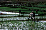Asia, Asian, China, Chinese, Chinese people, rice, agriculture, paddy, paddies, rice paddy, rice paddies, Ping Ziang, Ping Ziang county, rice growing, rice growing, rice field, rice fields.