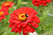 Flower, flowers, annual, annuals, zinnia, zinnias, elegans, zinnia elegans, youth and age, compositae, annual, annuals, insect, insects, bee, bees.