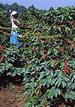 Agriculture, coffee, coffee bean, coffee beans, coffee plantation, coffee plantations, coffee growing, coffee berry, coffee berries, coffee plant, coffee plants, berry, berries, occupation, occupations.