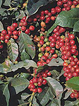 Agriculture, coffee, coffee bean, coffee beans, coffee plantation, coffee plantations, coffee growing, coffee berry, coffee berries, coffee plant, coffee plants, berry, berries, Kenya.