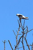 Animal, Animals, Bird, Birds, Kite, kites, black-shouldered, black-shouldered kite, black-shouldered kits, raptor, raptors, australia, bird of prey, birds of prey, CS34,