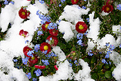 Europe, Switzerland, Swiss, Gstaad, snow, snow scene, snow scenes, winter, Flora, flower, flowers, daisy, daisies, forget-me-not, forget-me-nots.