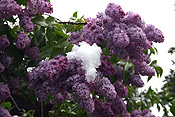 Europe, Switzerland, Swiss, Gstaad, snow, snow scene, snow scenes, winter, Flora, flower, flowers, tree, trees, lilac, lilacs, lilac tree, lilac trees, syringa.