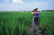 Agriculture, rice, paddy, paddies, rice paddy, rice paddies, research, researcher, researchers, rice field, rice fields.