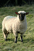Animal, animals, sheep, lamb, lambs, ewe, ewes, suffolk cross, suffolk cross sheep.