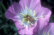 Flower, flowers, primrose, primroses, showy, showy primrose, showy primroses, oenothera, oenotheras, speciosa, oenothera speciosa, stamen, stamens, texas, insect, insects, bee, bees, pollen, pollinate, pollinates, pollinating, pollination, pink, pink flower, pink flowers.