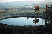 Farming, Farmland, farm, farms, animal, animals, cattle, meat industry, meat trade, cow, cows, livestock, agriculture, grazing, england, pond, ponds.