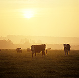 Farming, Farmland, farm, farms, animal, animals, cattle, meat industry, meat trade, cow, cows, livestock, agriculture, grazing, england, hereford, herefords.