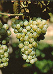 Food, Fruit, Grape, Grapes, bunch of grapes, bunches of grapes, vineyard, vineyards, agriculture, australia.